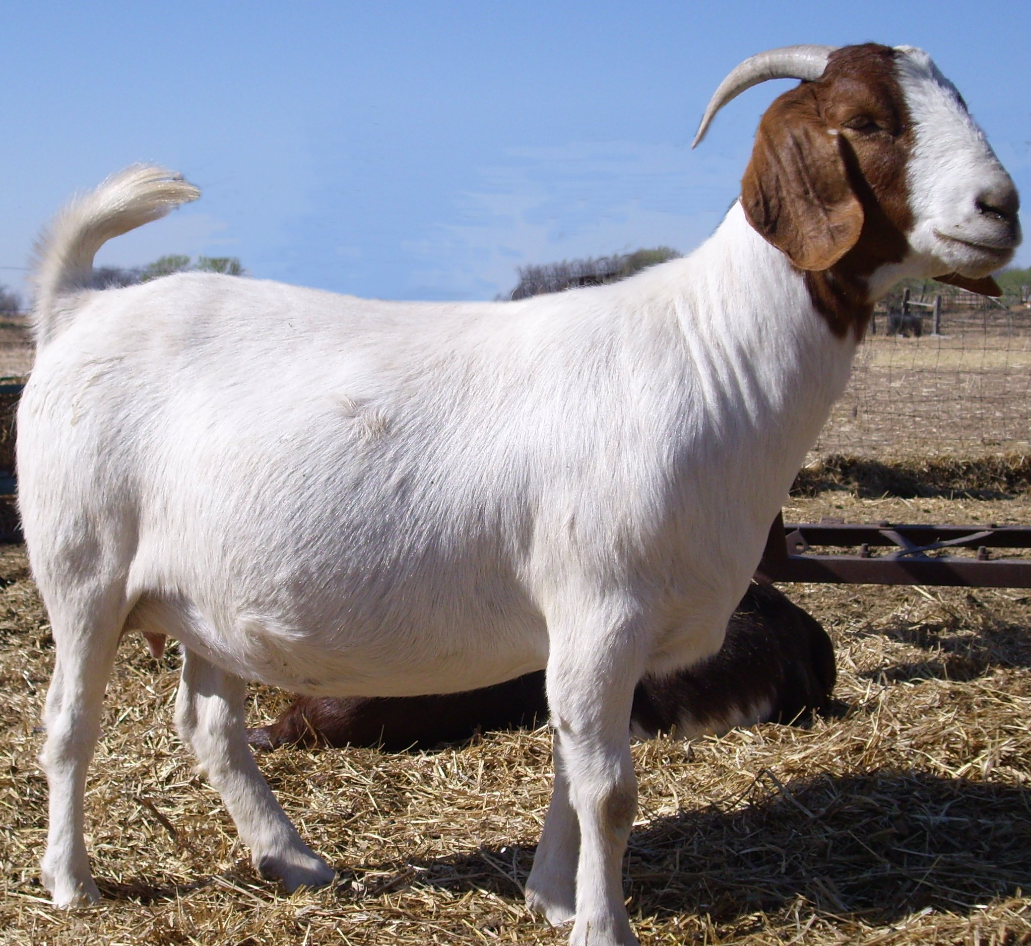 Stage Stop Boer Goats  Home