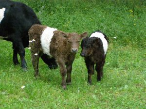 Mini-Beltie1