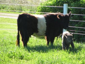 Mini-Beltie2