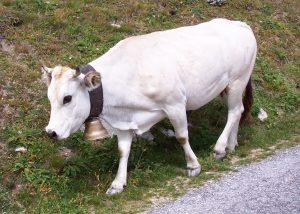 Piedmontese1