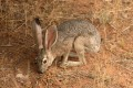 Jackrabbit Black-tailed