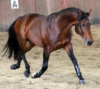 Salernitano Horse